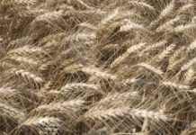 Agrosaveti---Zetva-psenice---Vrbas---01