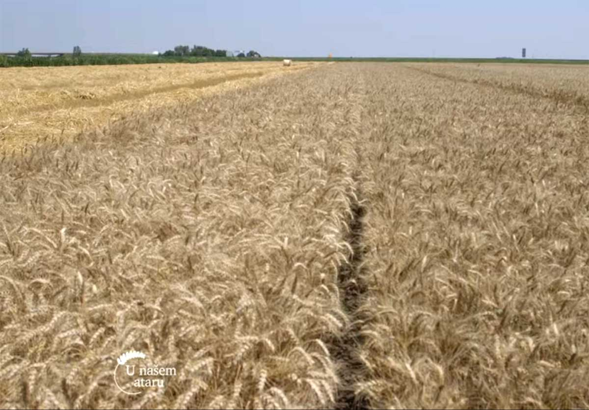 Agrosaveti---Zetva-psenice---Vrbas---02