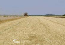 Agrosaveti---Zetva-psenice---Vrbas---03