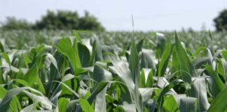 Agrosaveti---Zetva-psenice---kukuruz---Vrbas---04