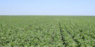 Agrosaveti---proizvodnja-secerne-repe-i-soje---Kovacica---01