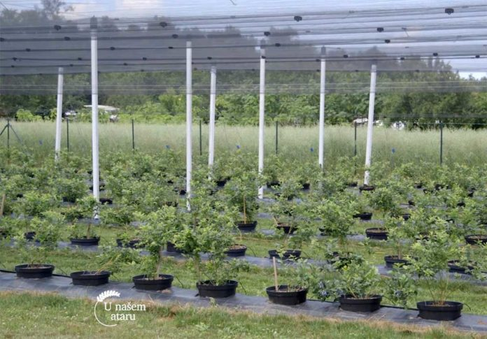 Agrosaveti---uzgoj-borovnica---Jagodina---01