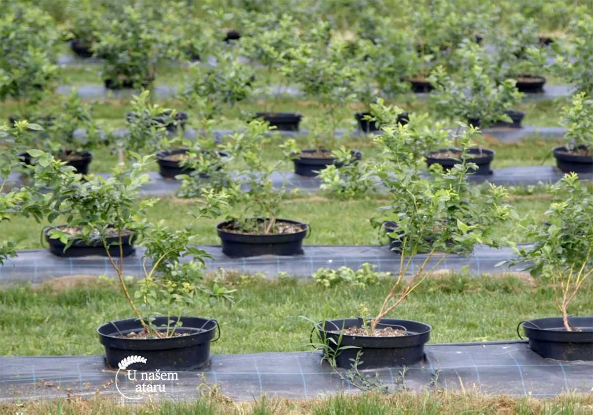 Agrosaveti---uzgoj-borovnica---Jagodina---02