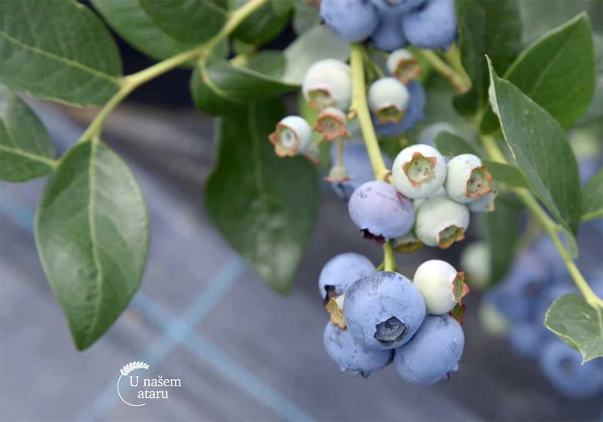 Agrosaveti---uzgoj-borovnica---Jagodina---03
