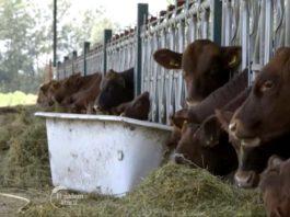 Agrosaveti---Angus-goveda---Glozan---01