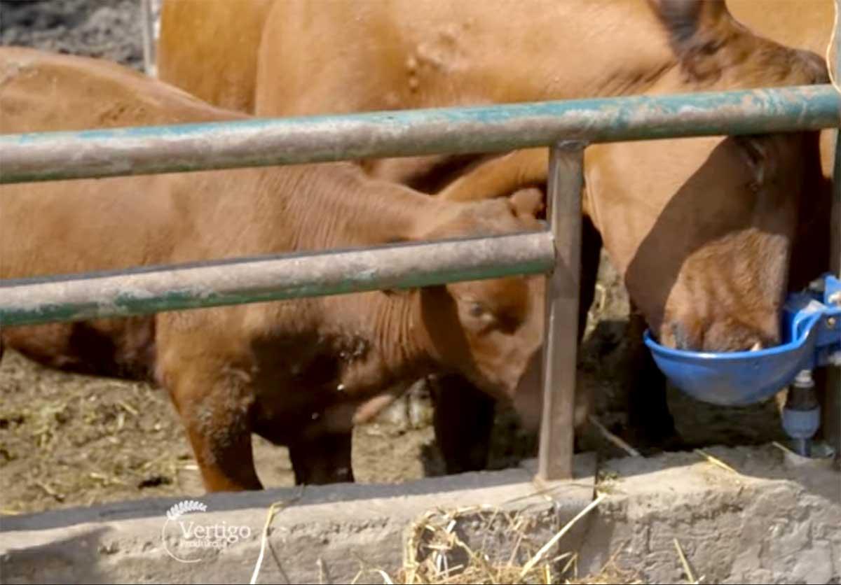 Agrosaveti---Angus-goveda---Glozan---03