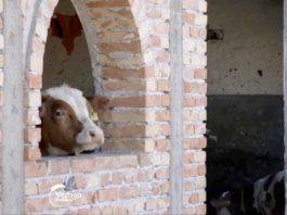 Agrosaveti---Farma-muznih-krava---Budjani---01