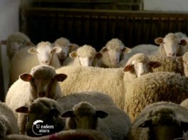 Agrosaveti---Il-de-France---ovce--Vrbas---01