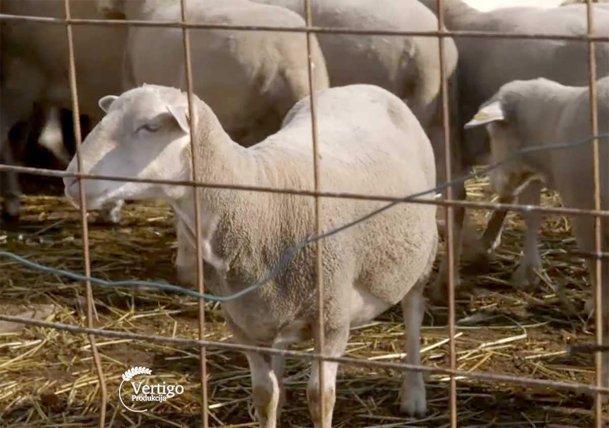Agrosaveti---Il-de-France---ovce--Vrbas---03