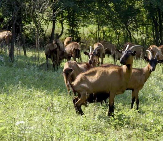 Agrosaveti---Koze---Dobraca---01