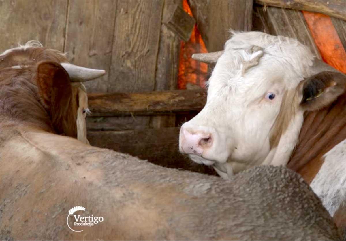 Agrosaveti---Krave---tov-bikova---Mramorac----01