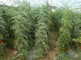 Agrosaveti---Paradajz---Zaklopace---01