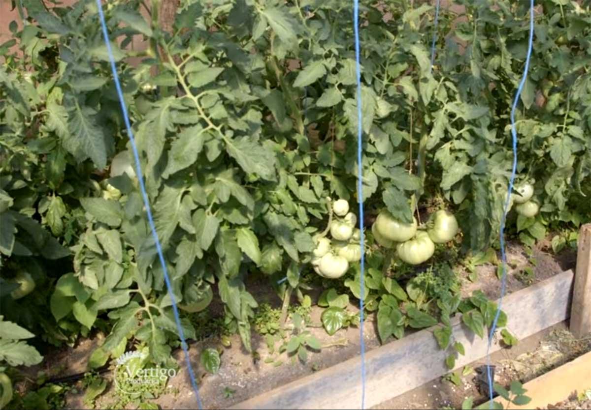 Agrosaveti---Paradajz-jabucar---01