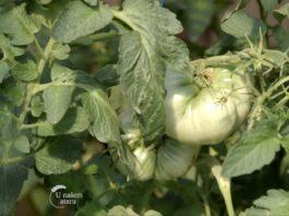 Agrosaveti---Paradajz-jabucar---03