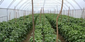 Agrosaveti---Povrce---Novi-Sad---plastenik---03