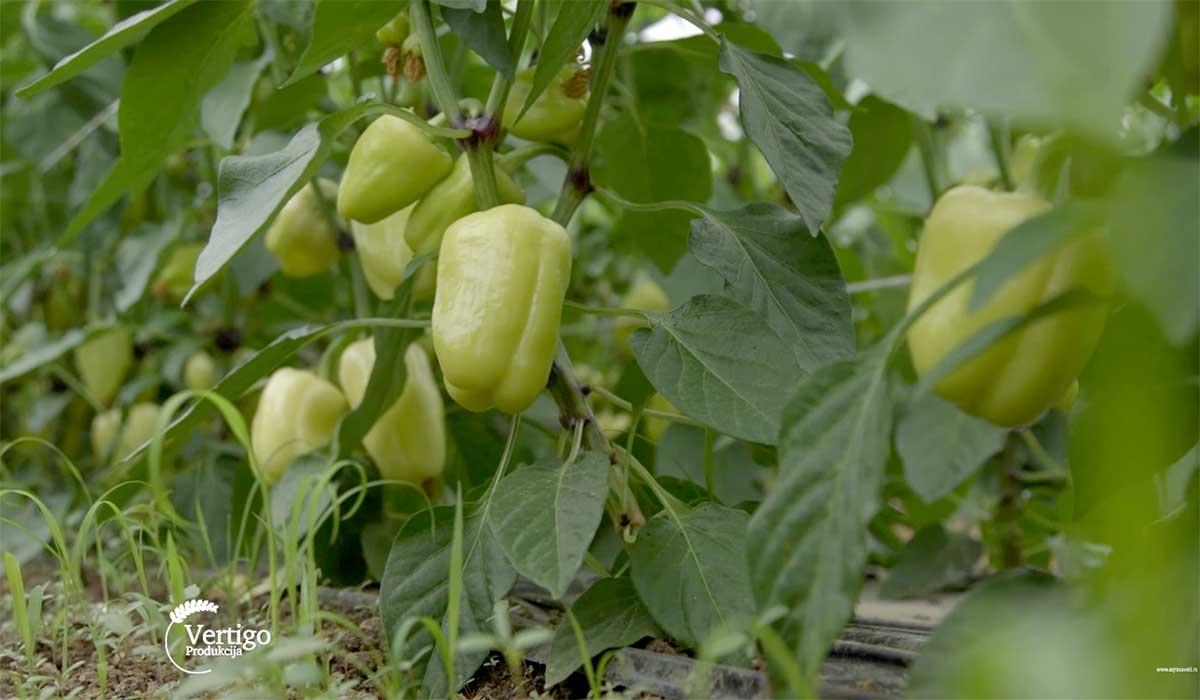 Agrosaveti---Povrce---Novi-Sad---plastenik---paprika---02