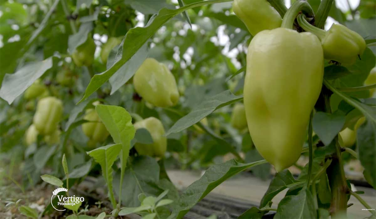 Agrosaveti---Povrce---Novi-Sad---plastenik---paprika---06