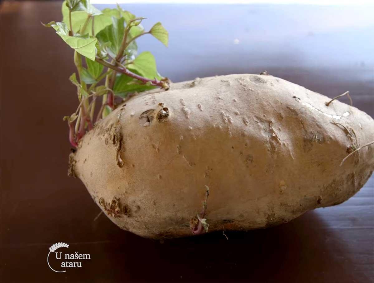 Agrosaveti---Proizvodnja-batata---Dobric---01