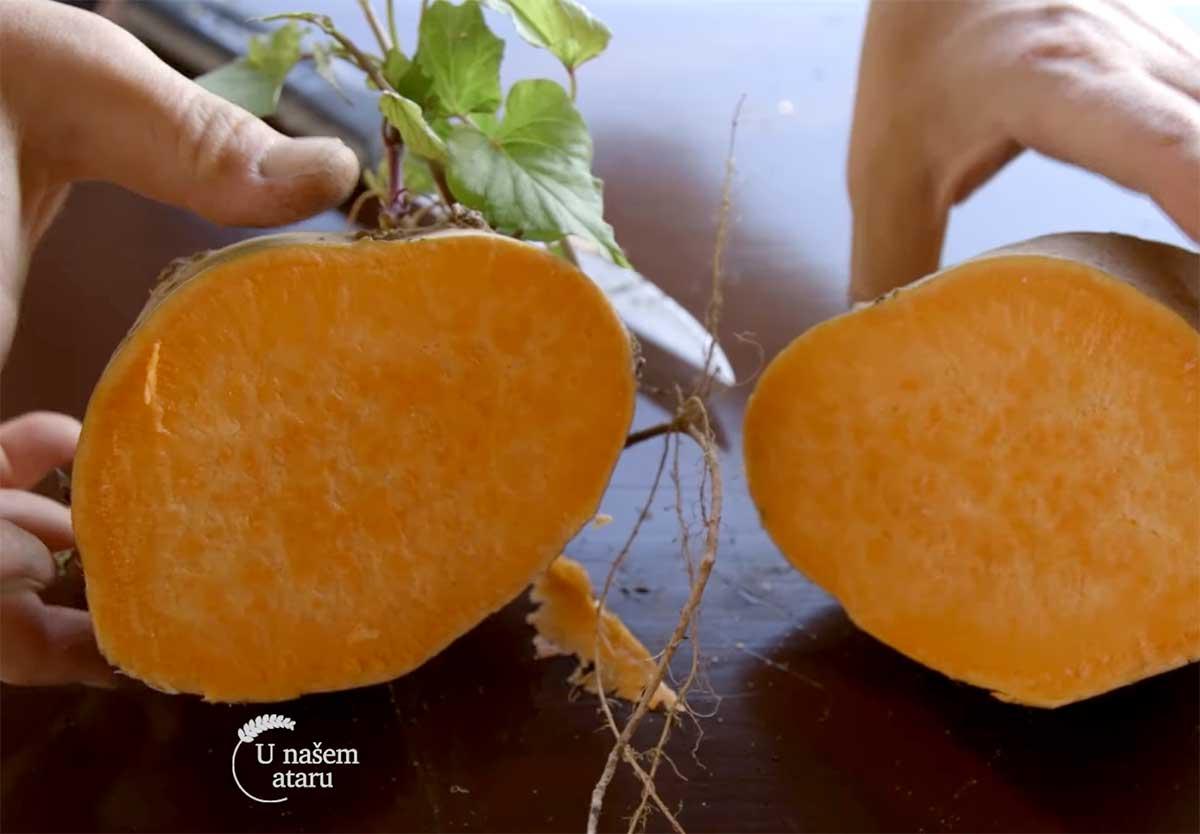 Agrosaveti---Proizvodnja-batata---Dobric---02