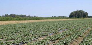 Agrosaveti---Proizvodnja-batata---Dobric---04