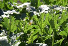Agrosaveti---Proizvodnja-povrca---Subotica---03