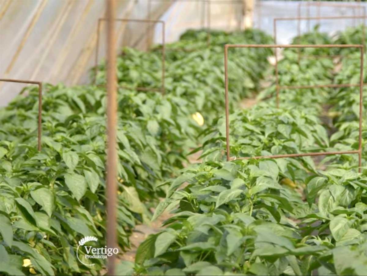 Agrosaveti---Proizvodnja-povrca---Subotica---05