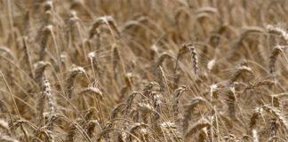 Agrosaveti---Trgoviste---stocarska-proizvodnja,-psenica---01