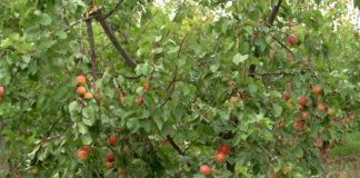 Agrosaveti---Uzgoj-kajsija---Zaklopaca---01
