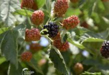 Agrosaveti---Uzgoj-kupina---Sumadija---01