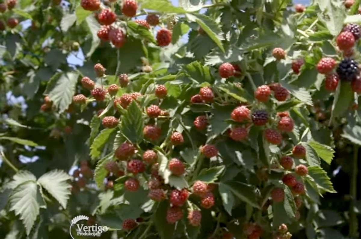 Agrosaveti---Uzgoj-kupina---Sumadija---02