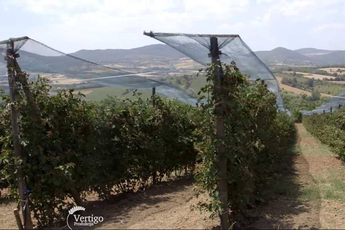 Agrosaveti---Uzgoj-kupina---Sumadija---04