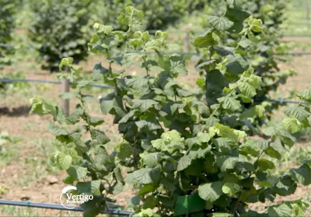 Agrosaveti---Uzgoj-lesnika---03