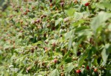 Agrosaveti---Uzgoj-malina---Beli-Kamen---02