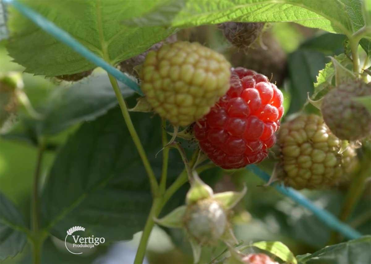Agrosaveti---Uzgoj-malina---Macva---01