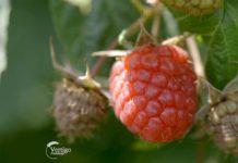Agrosaveti---Uzgoj-malina---Macva---03