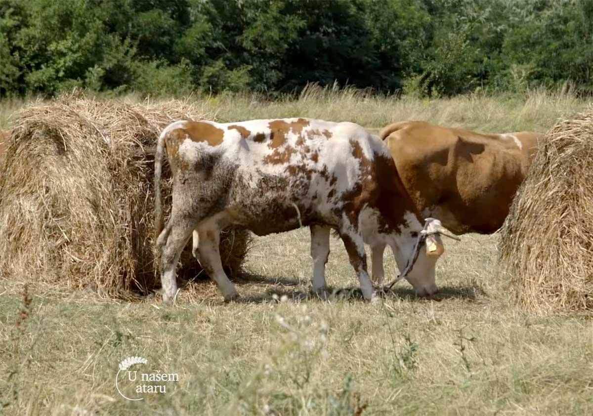 Agrosaveti---povrtarstvo---stocarstvo---Desimirovac---03