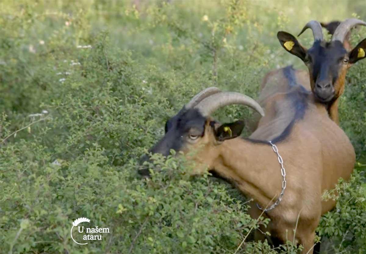 Agrosaveti---Alpino-koze---Trgoviste---Stara-planina---01