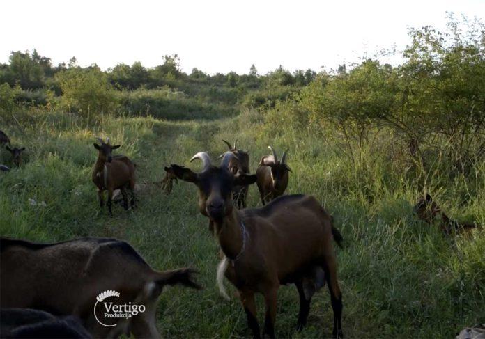 Agrosaveti---Alpino-koze---Trgoviste---Stara-planina---02