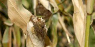 Agrosaveti---Brasno---kukuruz-osmak---Backo-Gradiste---01