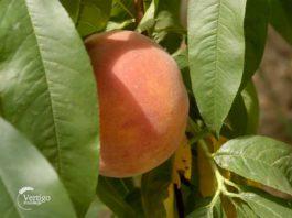 Agrosaveti---Saveti-za-pravilnu-berbu-voca---03