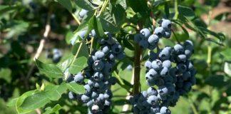 Agrosaveti---Uzgoj-borovnica---Brestovik---02