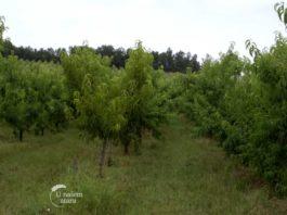 Agrosaveti---Uzgoj-nektarina---Zaklopaca---02
