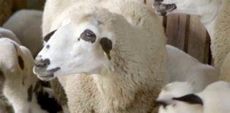 Agrosaveti---Uzgoj-sjenicke-ovce---Suvodanje---02