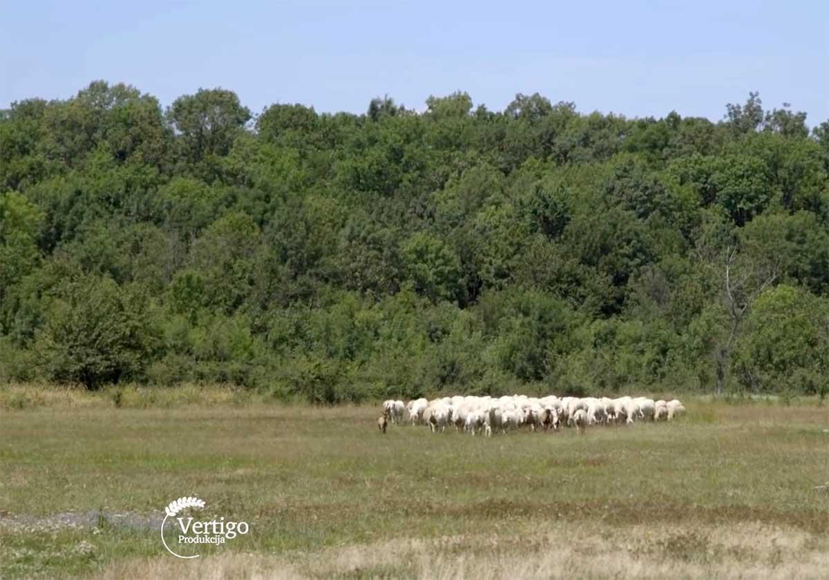 Agrosaveti---Uzgoj-virtemberg-ovaca---Selenca---01