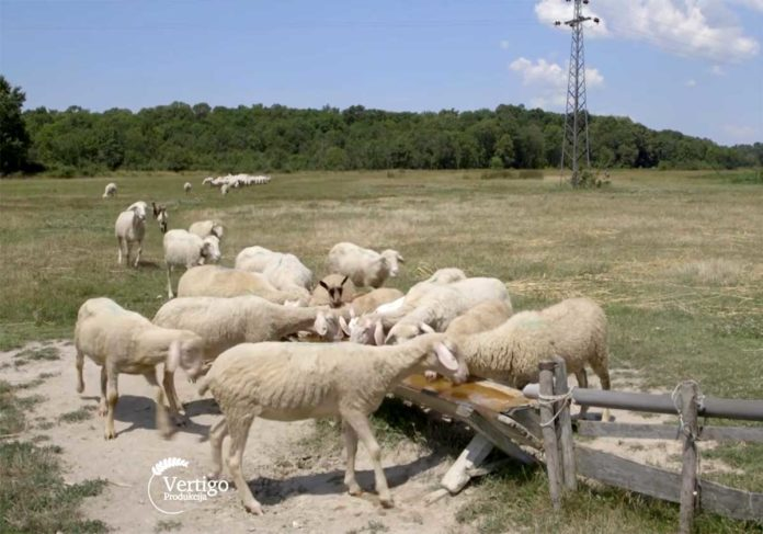 Agrosaveti---Uzgoj-virtemberg-ovaca---Selenca---02