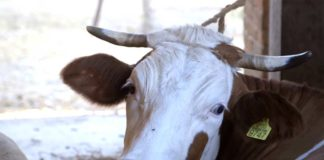 Agrosaveti---farma-krava---proizvodnja-mleka---Glusci---01