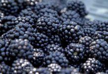 Agrosaveti---malina-i-kupina---Dobric---01