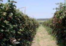 Agrosaveti---malina-i-kupina---Dobric---02