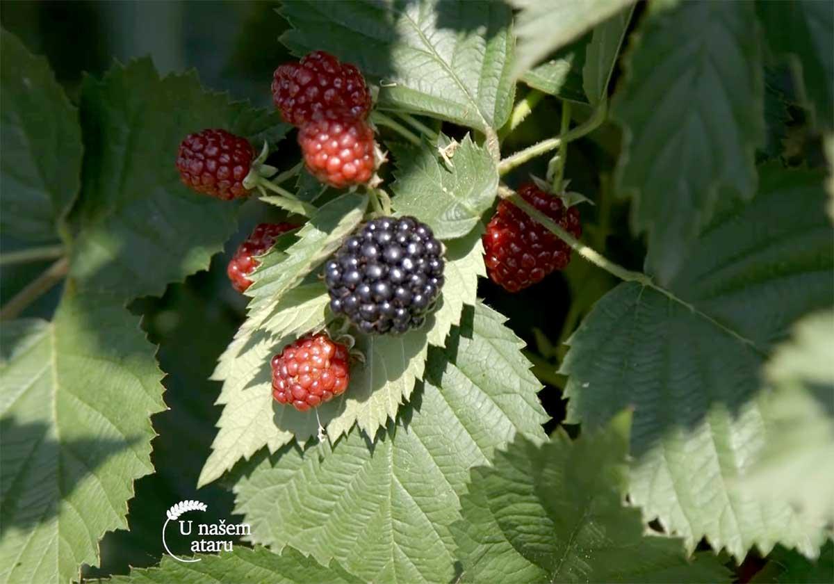Agrosaveti---malina-i-kupina---Dobric---03
