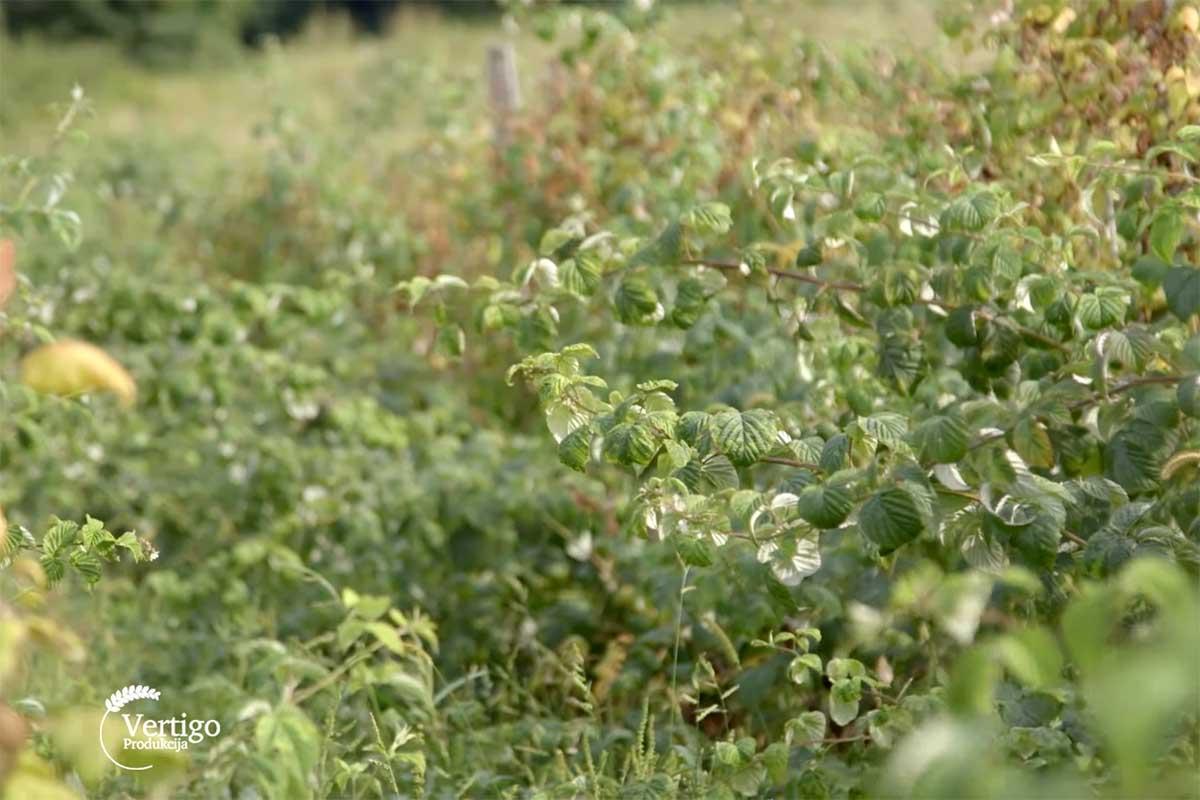 Agrosaveti---organska-malina-i-kupina---Brezovice---Valjevo---02